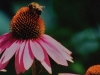 Bee Pollinating Echinacea